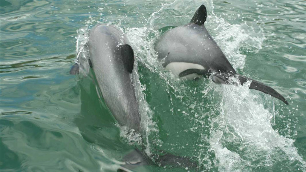 We are helping to save the Maui dolphins found only off the west coast of New Zealand's north island